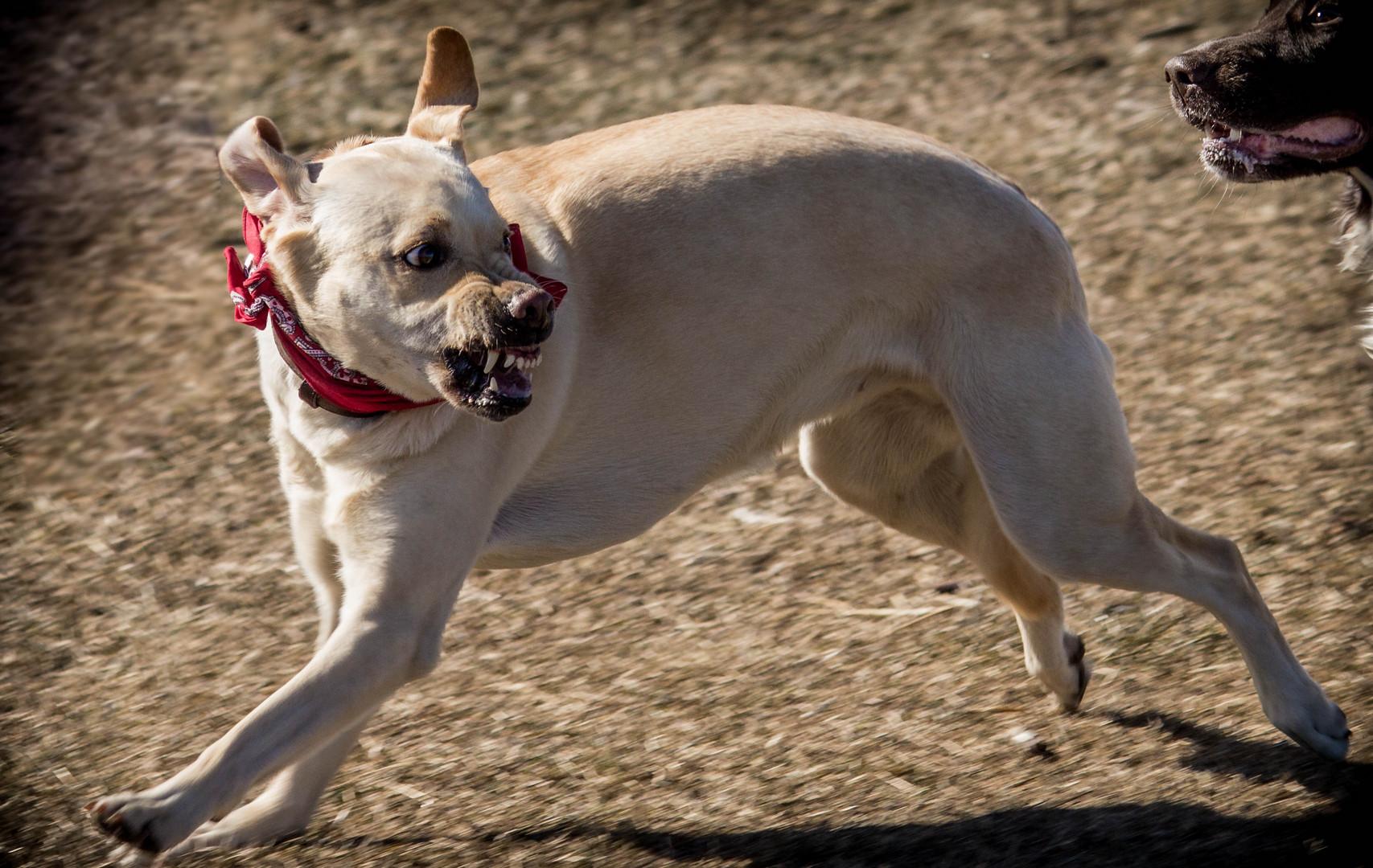 Labrador am Lächeln!