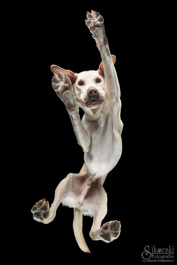 Labrador Hubert - Hunde von unten