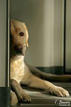 Labrador im Zug