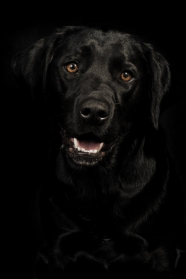 Labrador Jessy