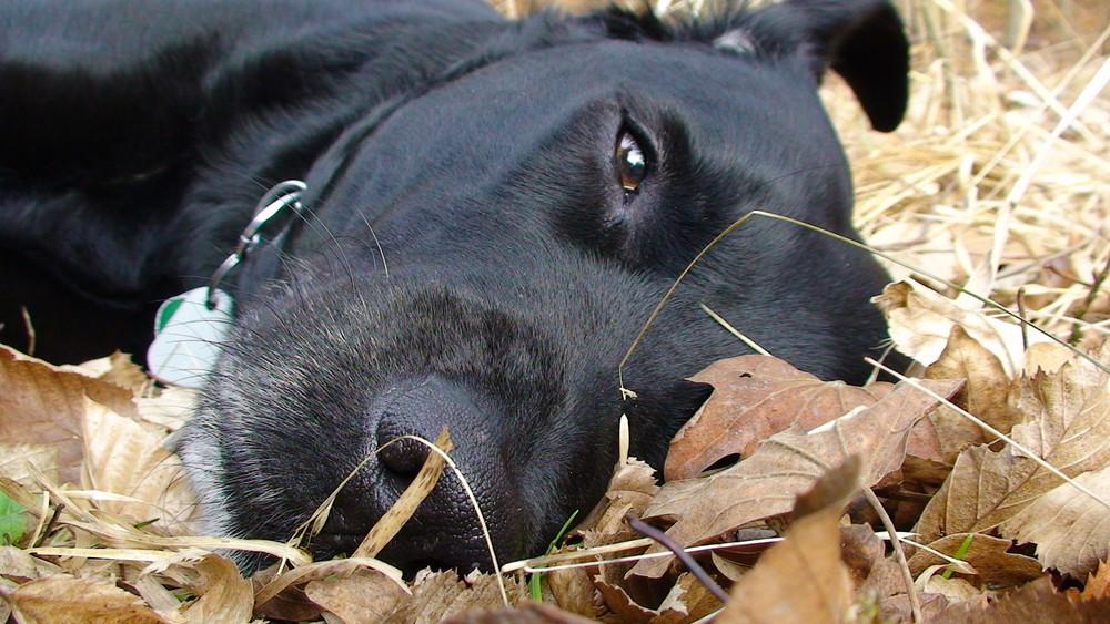 Labrador (Luna)