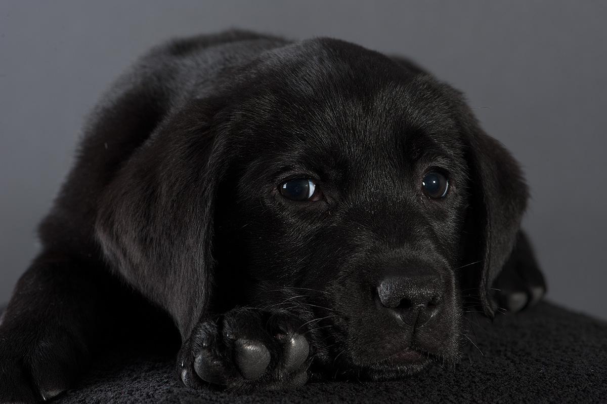 Labrador Remo