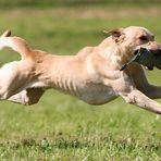 Labrador-Retriever im Flug