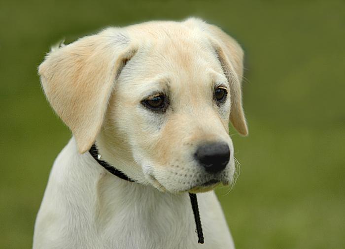 Labrador Retriever-Welpe