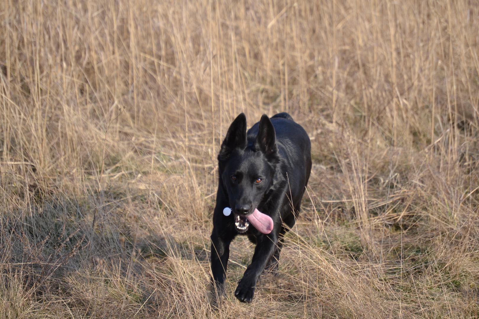 Schäferhund Mischling