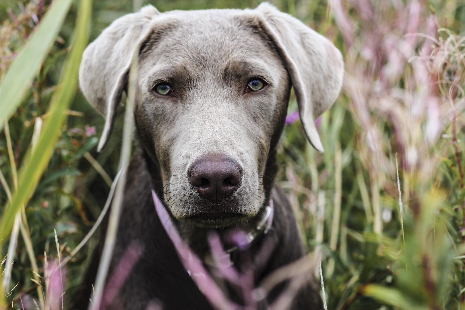 Labradorhündin Frieda