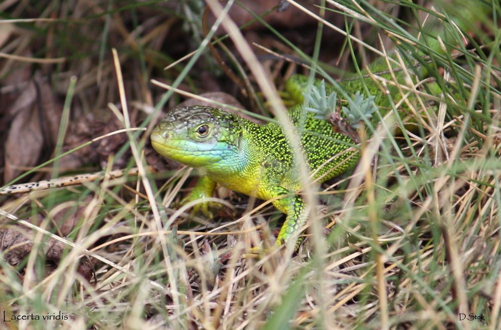 Lacerta bilineata  -Männchen / Nord-Ost Frankreich