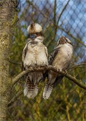 Lachender Hans / Kookaburra - Dacelo novaeguineae