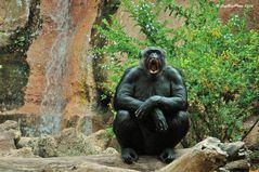 Lachender Schimpanse im Loro´Parque Puerto de la Cruz