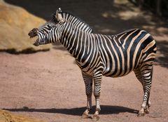 Lachendes Zebra