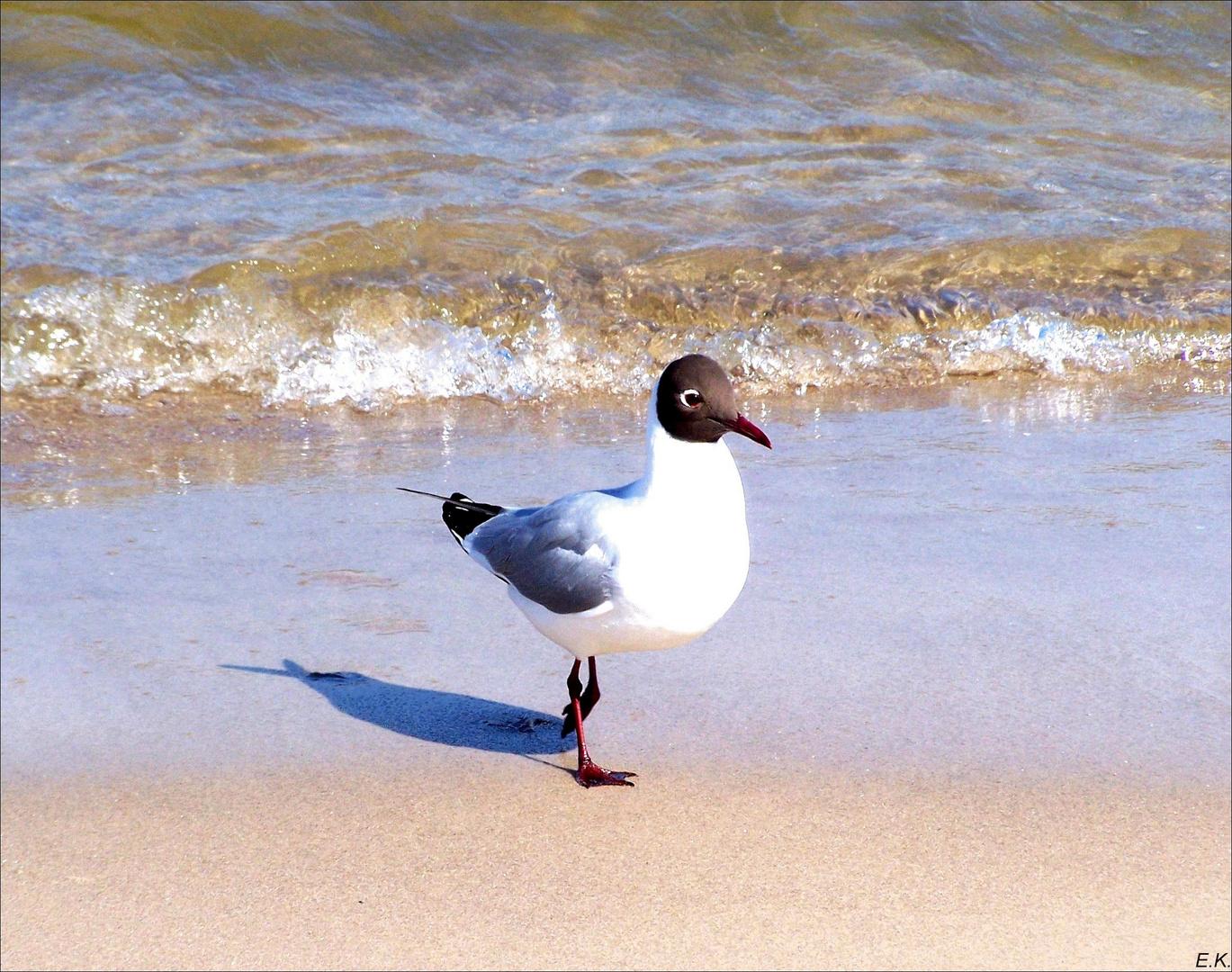 Lachmöve an der Ostsee