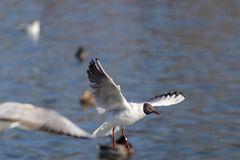 Lachmöwe (Larus ridibundus), Altrhein bei Breisach (Halbinsel vogelgrun, Frankreich)