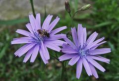 Lactuca perennis - Blauer Lattich...eine seltene heimische Pflanze aus den höheren Regionen...