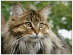 """Lady """"Maine Coon"""""""