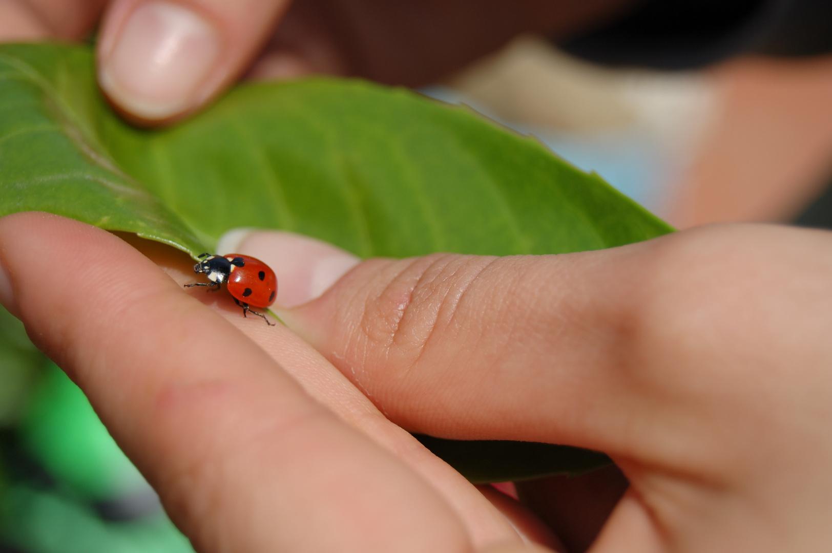Ladybird and hand