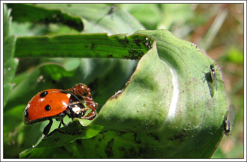 Ladybird and hot-tempered ant