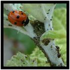 Ladybird with ant