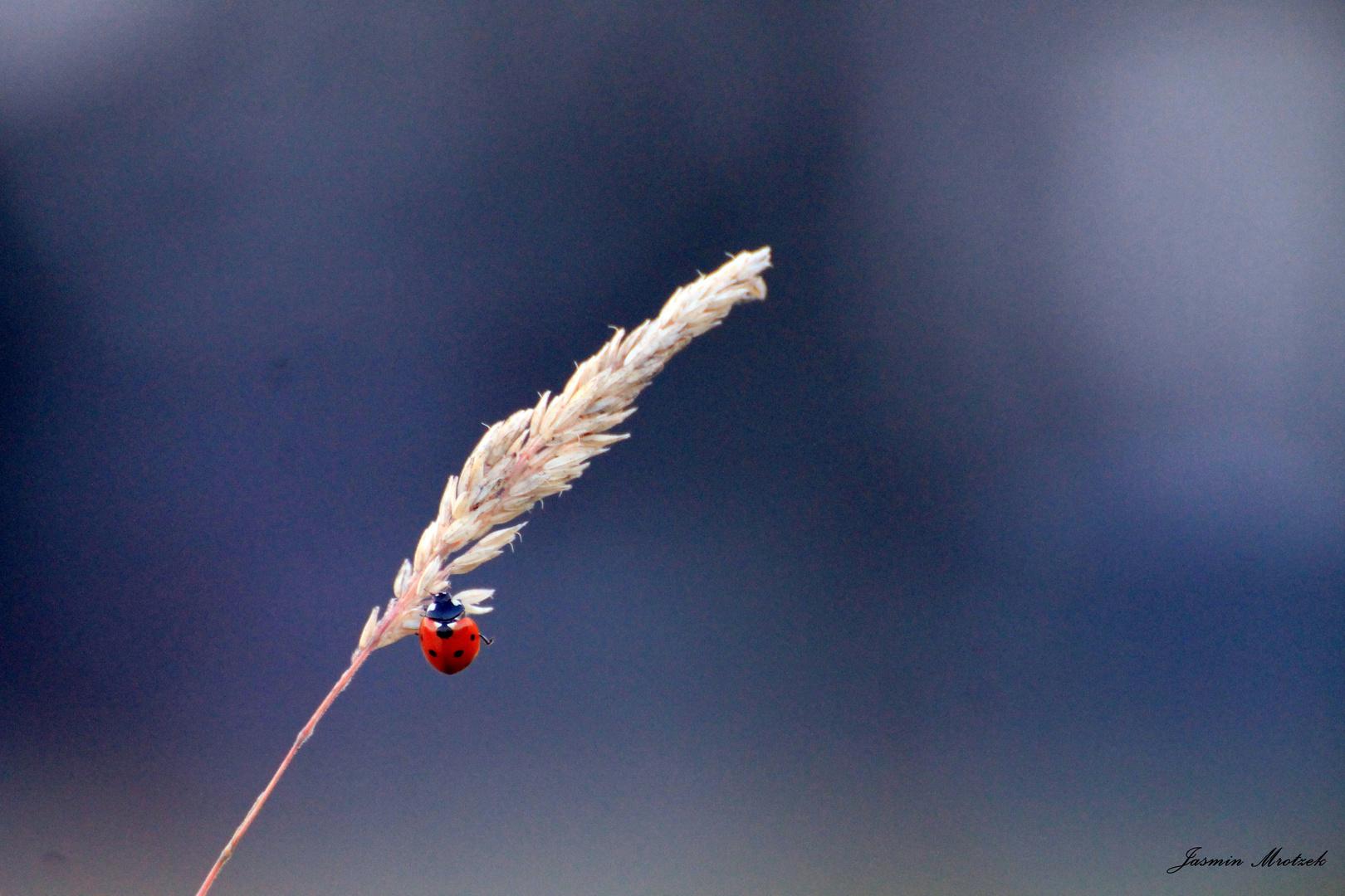 Ladybug falls down