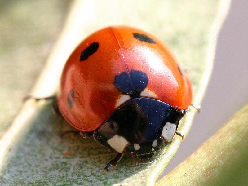 ladybug - ladybird - Marienkäfer