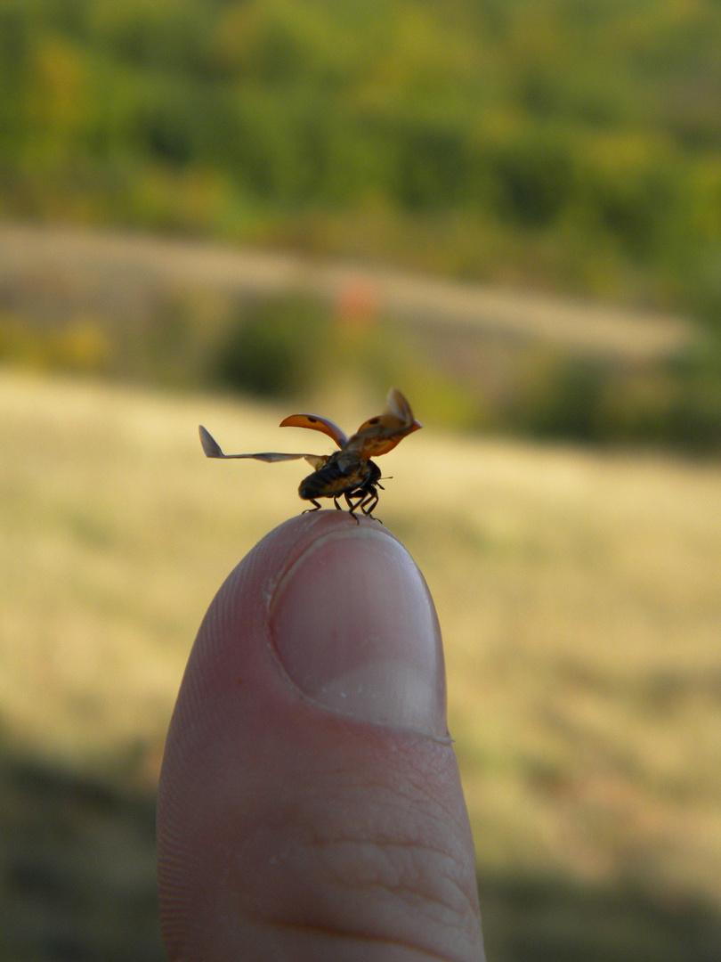 ladybug ready for take off