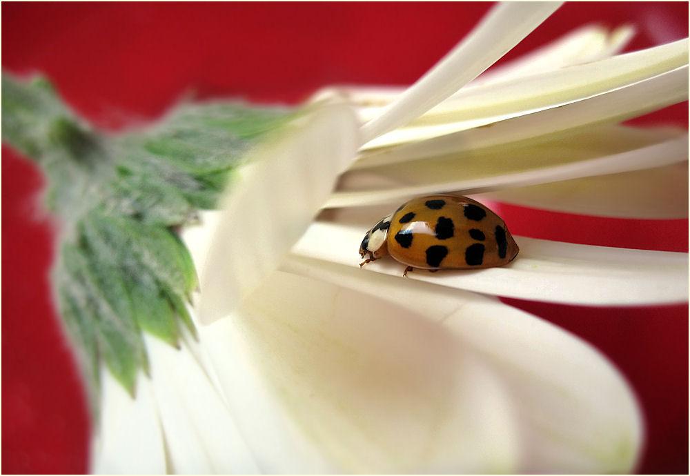 Ladybug sleeping on gerbera's petal