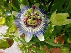 Lächelnde Passionsblume