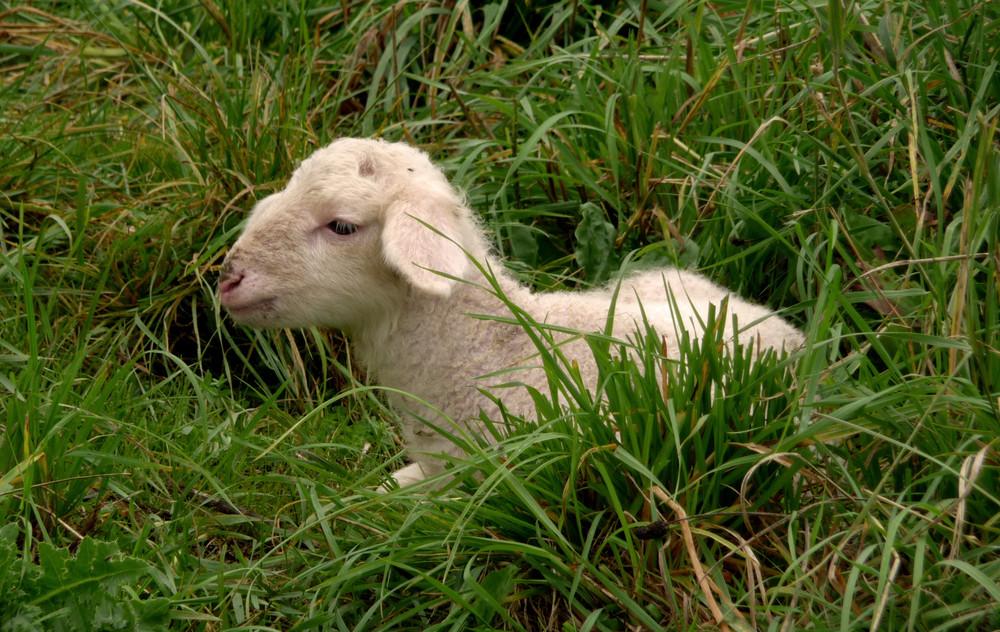 Lämmchen ohne Mama auf der Weide