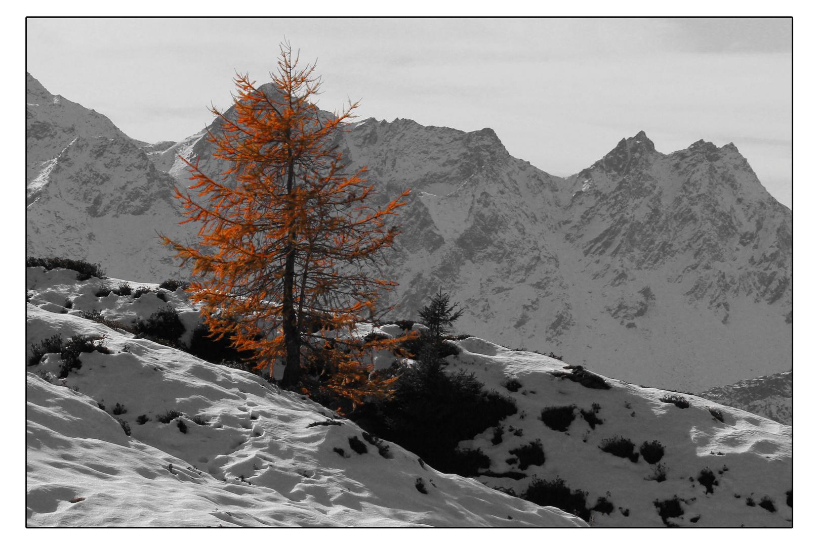Lärche auf Alpe Cari