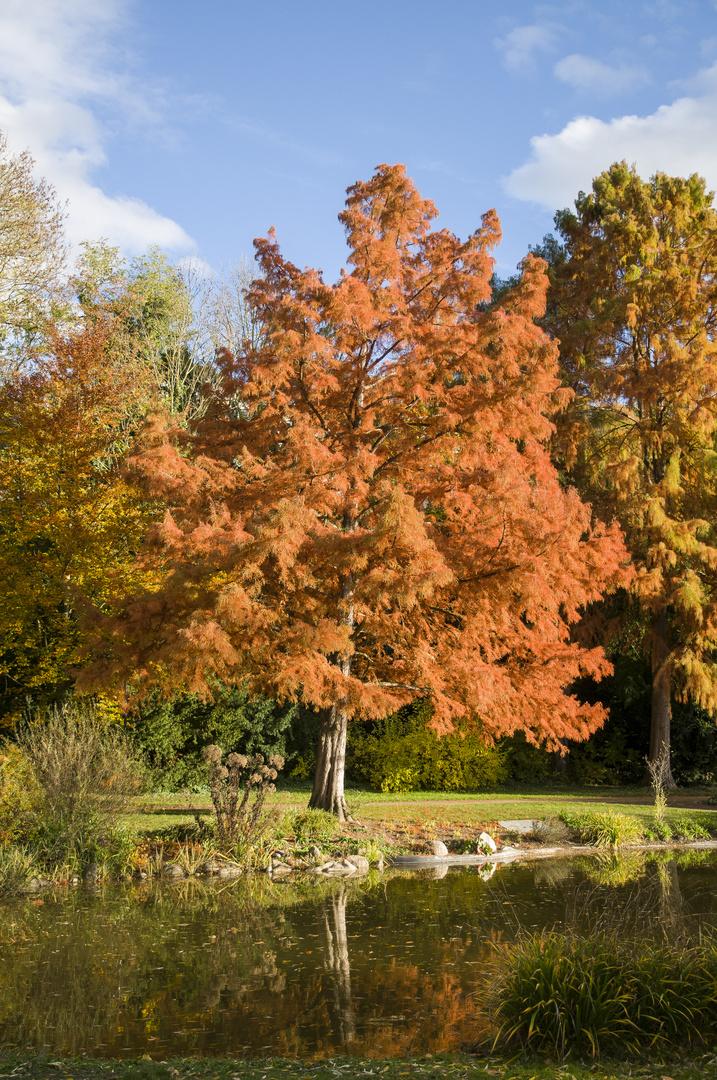 Lärche im Herbst DSC_7848