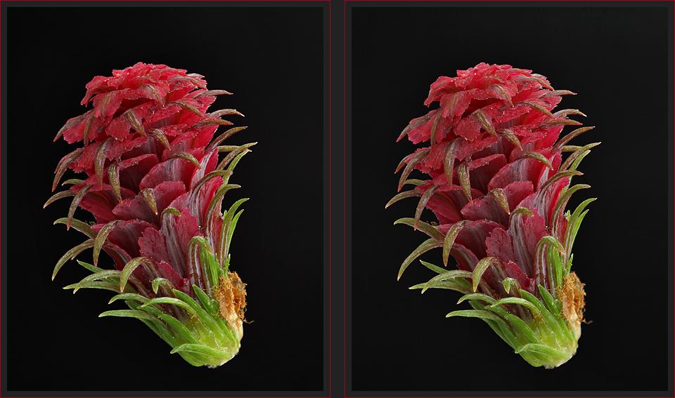 Lärchenblüte [3D]*