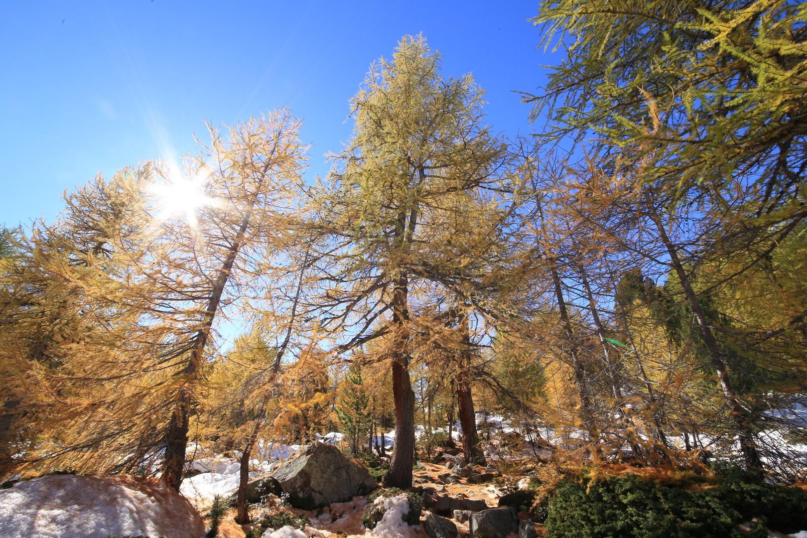 Lärchenwald im Herbst und ersten Schnee