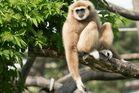 Lässiger Gibbon