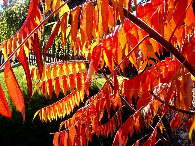 Lästig aber schön: Essigbaum im Oktober