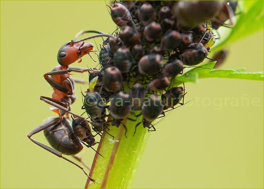 l use melken foto bild tiere wildlife insekten. Black Bedroom Furniture Sets. Home Design Ideas