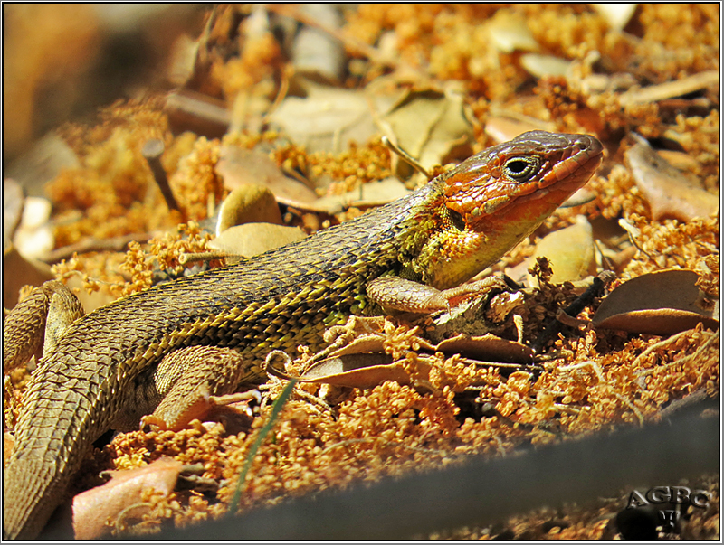 Lagartija colilarga (Psammodromus algirus) (macho)