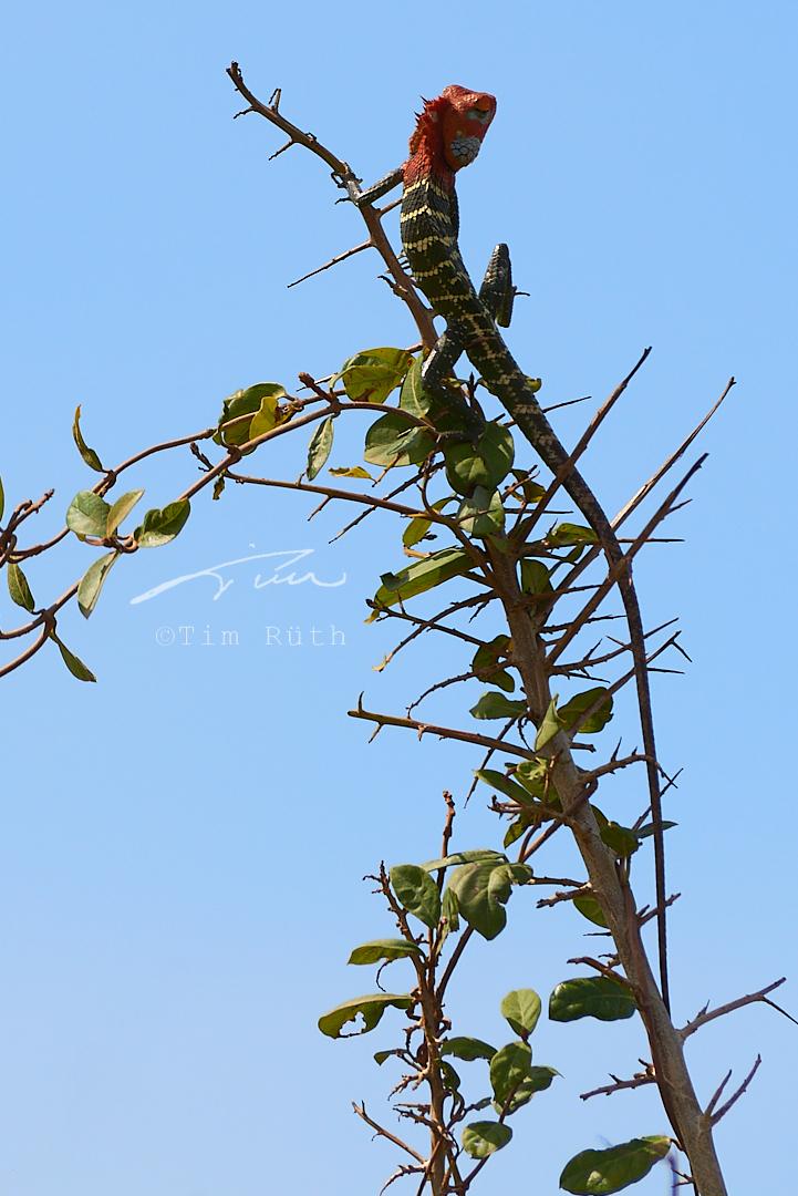 Lagarto verde común de bosque