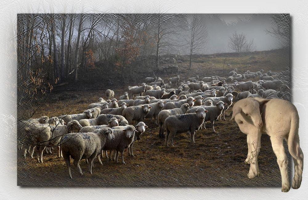 * l'agneau *