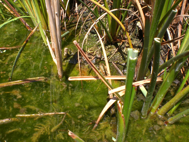 lago con ranas