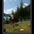 Lago di Lappago con mucca