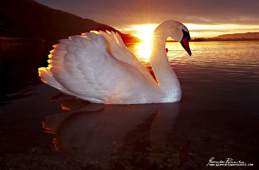 Lago di Mergozzo, un cigno in posa tra me e il sole dell'alba.