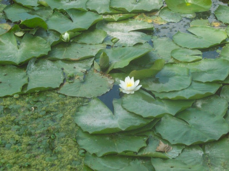 Lake Erie Water Lilies