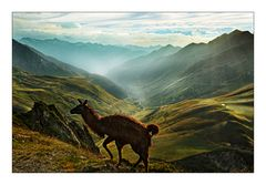 Lama am Col du Tourmalet