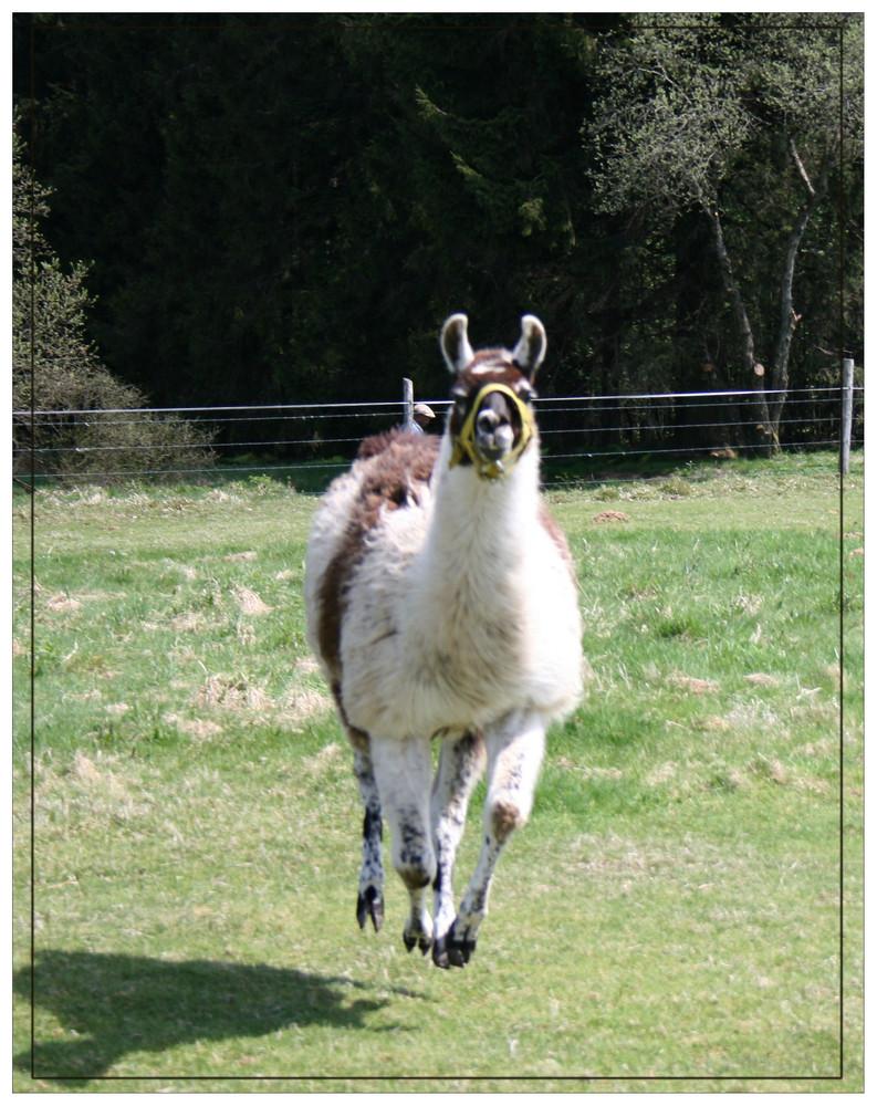 Lama im Vogelsberg auf eine Weide