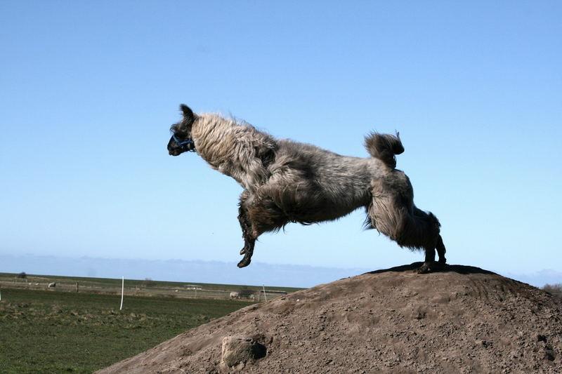 Lama-Sprung in den Frühling