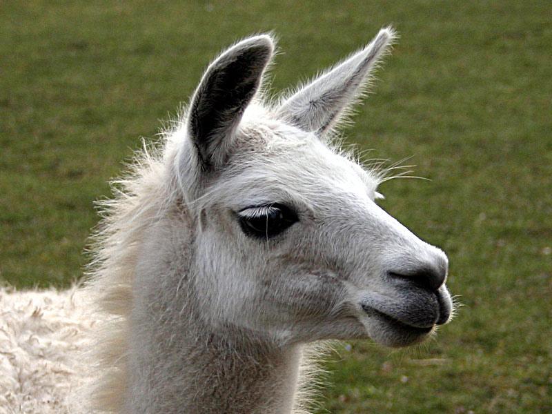 Lama-Stute