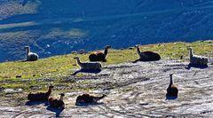 ... Lamas am Col du Tourmalet ...