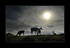 Lamas im Gegenlicht