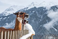 Lamas im Vorarlberg