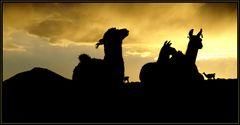 Lamas in der Abendsonne!