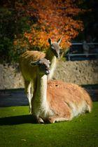 Lamas Zoo Berlin